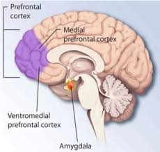 brain amygdala anxiety center of the brain